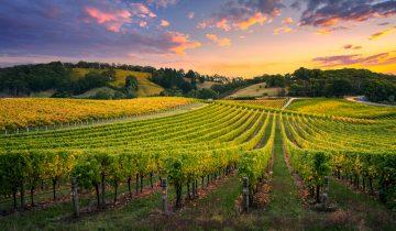 Cómo será la cosecha 2021 en los viñedos de Marqués de Terán